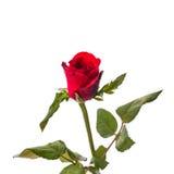 Una rosa roja aislada Imagen de archivo libre de regalías