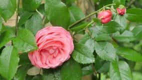 Una rosa roja allí es una rosa roja y un fondo verde Foto de archivo libre de regalías