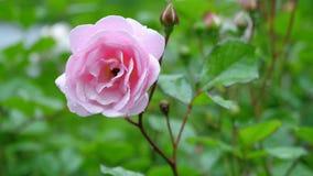 Una rosa roja allí es una rosa roja y un fondo verde Imagen de archivo libre de regalías