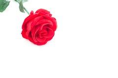 Una rosa roja en el fondo blanco aislado Fotos de archivo