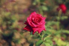 Una rosa roja en la rosaleda está mirando a una reina de belleza del todos de subió en la rosaleda Fotografía de archivo libre de regalías