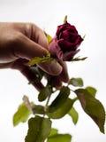 Una rosa roja en mano izquierda fotografía de archivo