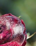 Una rosa roja en un fondo verde Imagen de archivo