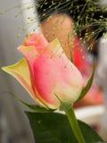 Una rosa rosada del amarillo Imágenes de archivo libres de regalías