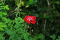Una rosa rossa adorabile Colore di amore immagini stock libere da diritti