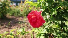 Una rosa rossa che oscilla nel vento in giardino video d archivio
