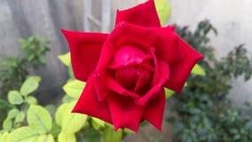 Una rosa rossa fiorisce Immagini Stock Libere da Diritti