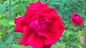 Una rosa rossa nel giardino Fotografia Stock Libera da Diritti