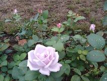 Creative tops u giardino di rose u sottobicchieri in sughero