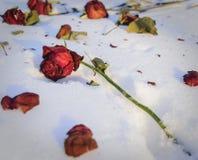 Una rosa vieja del rojo lanzada hacia fuera en la nieve Imágenes de archivo libres de regalías
