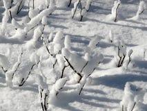 Una rosaleda nevada en invierno Foto de archivo