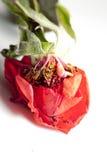 Una Rose disecada Imagen de archivo libre de regalías