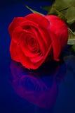 Una Rose en azul Imágenes de archivo libres de regalías
