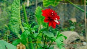Una Rose en un jardín wide imagenes de archivo
