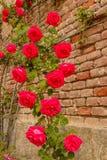 Una salita delle rose su un muro di mattoni Immagine Stock
