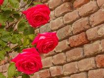 Una salita delle rose su un muro di mattoni Fotografia Stock
