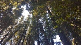 Una sbirciata al cielo attraverso la foresta della sequoia Fotografia Stock