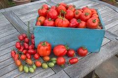 Una scatola blu in pieno di pomodori rossi, con un gambo dei pomodori di prugna dentro Immagine Stock