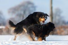 Una scena aggressiva di due cani nella neve Immagine Stock