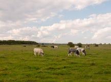 Una scena del paesaggio con l'azienda lattiera intimorisce il pascolo sull'erba Fotografie Stock