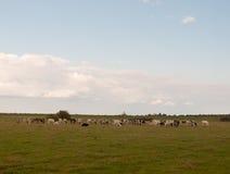 Una scena del paesaggio con l'azienda lattiera intimorisce il pascolo sull'erba Immagini Stock