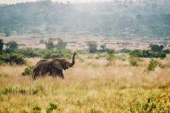 Una scena di safari dell'Uganda, mostrante un elefante africano femminile selvaggio che cammina con il suo tronco nell'aria fotografia stock libera da diritti