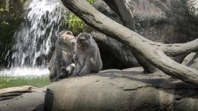 Una scena divertente delle scimmie di risata Due macachi di Formosa della roccia degli adulti immagine stock