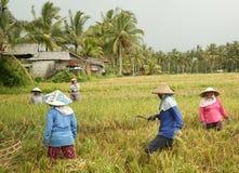 Una scena tradizionale dei lavoratori locali di balinese che lavorano manualmente nelle risaie durante la stagione del raccolto Fotografia Stock