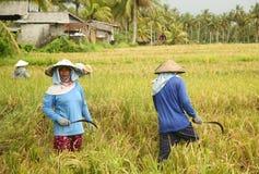 Una scena tradizionale dei lavoratori locali di balinese che lavorano manualmente nelle risaie durante la stagione del raccolto Immagini Stock