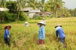 Una scena tradizionale dei lavoratori locali di balinese che lavorano manualmente nelle risaie durante la stagione del raccolto Fotografia Stock Libera da Diritti
