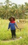 Una scena tradizionale dei lavoratori locali di balinese che lavorano manualmente nelle risaie durante la stagione del raccolto Immagine Stock