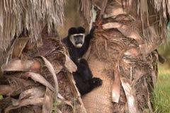 Una scimmia Immagine Stock Libera da Diritti
