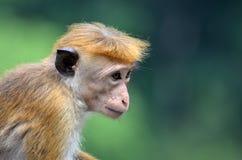 Una scimmia adorabile del bambino Immagine Stock