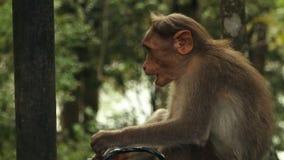 Una scimmia allegra di Rhesis in India stock footage