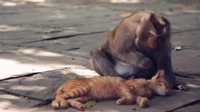 Una scimmia che cerca il segno di spunta nella pelle del gatto stock footage