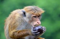Una scimmia che mangia un avocado Immagine Stock Libera da Diritti