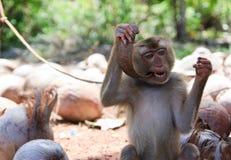 Una scimmia che morde una noce di cocco immagine stock libera da diritti