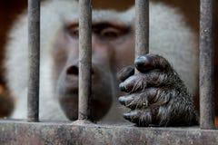 Una scimmia che si siede dentro una gabbia e che tiene la griglia immagini stock libere da diritti
