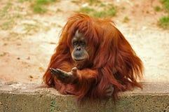 Una scimmia con una zampa stesa. Immagini Stock