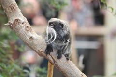 Una scimmia del tamarin Immagini Stock Libere da Diritti