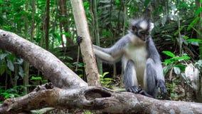 Una scimmia della foglia di thomas che gioca con le sue dita del piede fotografie stock