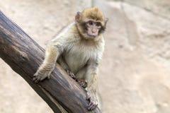 Una scimmia di Barbary Immagine Stock