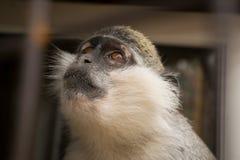 Una scimmia di cui sogna immagine stock libera da diritti