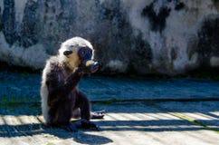 Una scimmia divertente mangia una banana Fotografie Stock Libere da Diritti