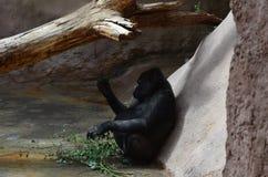 Una scimmia incinta Immagini Stock Libere da Diritti