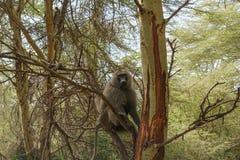 Una scimmia in lago Manyara fotografie stock libere da diritti