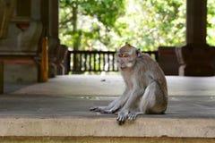 Una scimmia munita lunga di balinese vicino al tempio principale Villaggio di Padangtegal della foresta della scimmia Ubud bali l fotografia stock libera da diritti