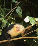 """Una scimmia preventiva del cappuccino che segna la sua """"zona sicura """" immagini stock libere da diritti"""