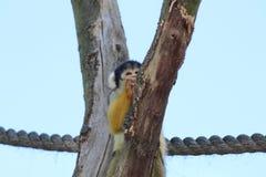 Una scimmia scoiattolo Fotografia Stock