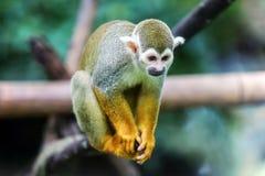 Una scimmia scoiattolo che si siede sul tronco Fotografie Stock